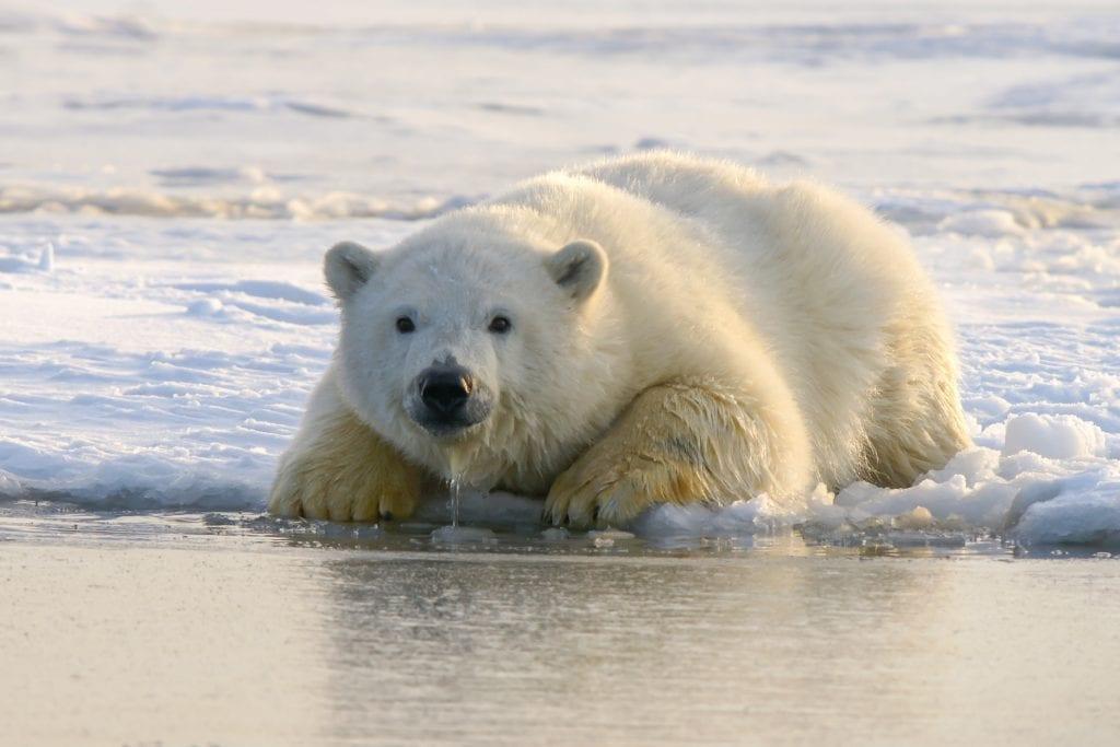 hans-jurgen-mager-polar-bear-covering-climate-now